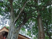 Vinh Long: Ancient trees receive historical relic status