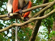 Red-shanked douc langurs discovered in Thua Thien-Hue