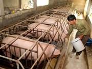 JICA helps Hoa Binh with native pig breeding