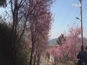 Da Lat to hold cherry blossom festival in 2017