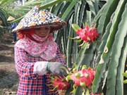 Dragon fruit needs more quality, diversity