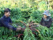 Dak Lak strives to increase processed coffee exports