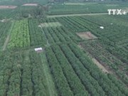 Lai Vung mandarin orange farms ready for Tet