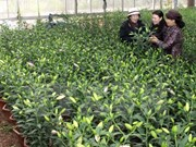 Sa Dec horticulture village busy preparing for Tet