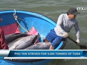 Phu Yen strives for 5,000 tonnes of tuna