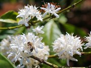 Central Highlands region whitened  by coffee flowers