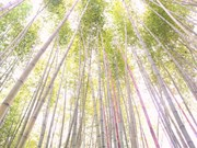 Cao Bang boasts film set-like bamboo forests