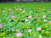 Thap Muoi lotus lake lures tourists