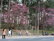 Cherry blossoms lure tourists to Da Lat