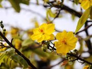 Apricot blossoms' early flowering worry growers