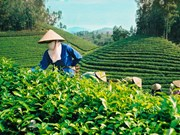 Vietnam's tea exports fall 6.9 percent in revenue
