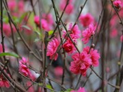 Pink blossoms symbolise luck for Tet