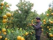 Kumquat tree - favoured plant for Tet
