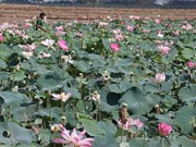 Lotus seedpods bring good money to farmers in Dong Thap