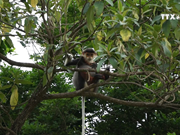 Da Nang moves to protect rare primates