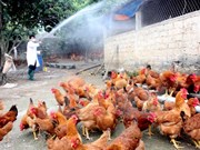 Localities asked to brace for potential avian flu during Tet