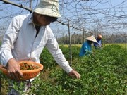 Quang Ngai farmers earn high profits as chili pepper prices soar