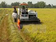 Large-scale rice fields booming