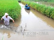 Rice-shrimp farming model needs zoning