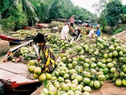 Ben Tre: Coconut growers, firms link up
