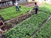 Vegetable gardens green Truong Sa archipelago