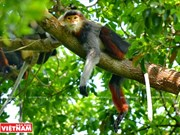 'Queen of Primates' on Son Tra Peninsula