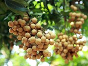 Hung Yen longan fruits during harvest season
