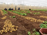 Vietnamese potato supply fails to meet demand