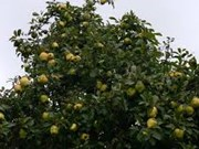 Citrus trees benefit midland people