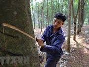 Vietnam ranks 3rd in natural rubber export