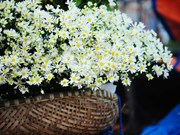 Capturing beautiful moments with Hanoi's white daisies