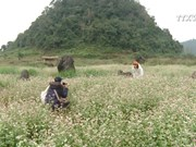 Pristine buckwheat flowers impress visitors
