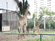 New born giraffe an added attraction to Saigon Zoo