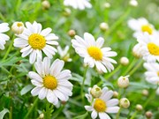 """King Daisy"" helps improve farmers' lives in Hung Yen"