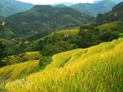 Hoang Su Phi terrace rice fields