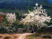 Plum blossoms invite tourists to Son La province