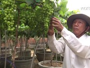 Ninh Thuan ornamental grapes – hot items for Tet holiday