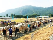 Ox racing festival in An Giang gears towards international status