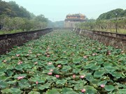 Lotus blossoms give off fragance in Hue