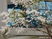 Stunning beauty of Sua flowers in Hanoi
