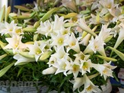 April white lilies in Hanoi