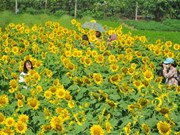 Sunflower garden in Ninh Binh lures visitors