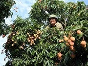 Lychee farmers enjoy early harvest