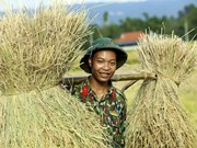 Soldiers help farmers harvest rice crop