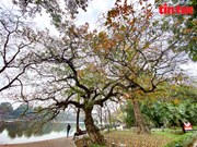 Hanoi in freshwater mangrove leaf changing season