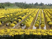 Flower villages rush into Lunar New Year
