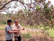 Vietnam's cashew industry shaken by extreme weather events