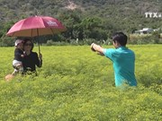 Dill flower field in Ninh Thuan wows visitors