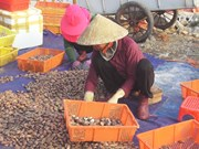 Ha Tinh fishermen earn big from shellfish