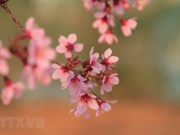 Wild Himalayan cherry blossoms brighten Da Lat city